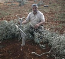 Settlers uproot At least 26 olive trees in Qusra village