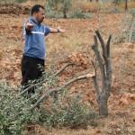 المواطن أيمن يوسف عودة يقف بجانب شجرة زيتون دمرها المستوطنون فجر اليوم
