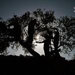 صور-موسم-الزيتون-في-قرية-قصرة-1