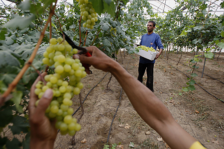 Palestinian farmers harvest grapes from