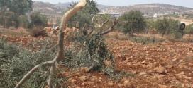 المستوطنون يقتلعون مئات أشجار الزيتون الليلة الماضية